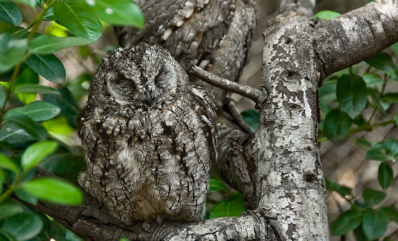 987_owl_animals_bird_disguise (6)