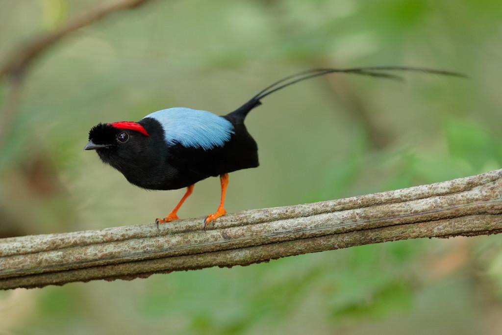 Long-tailed-Manakin-display